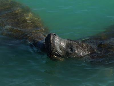 Art Print featuring the photograph Manatee With Seaweed Snack by Lynda Dawson-Youngclaus
