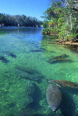 Photograph - Manatees In Florida River by John Burk