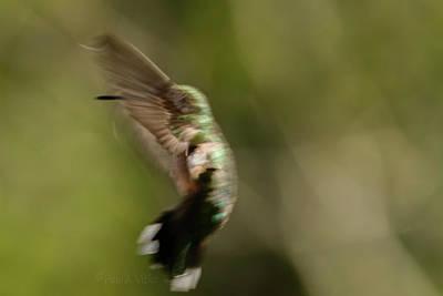 Photograph - Manbird Hummdancing.... by Paul Vitko