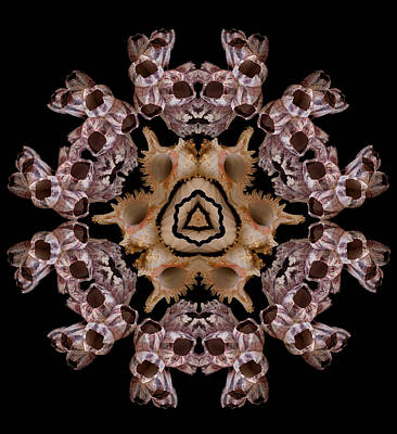 Photograph - Mandala Murex And Barnacle by Nancy Griswold