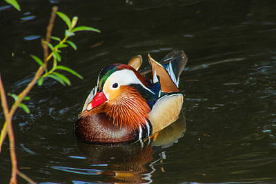 Photograph - Mandarin 3 by Robert Hebert