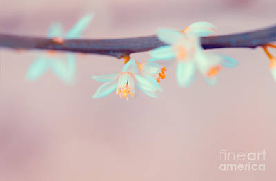 Photograph - Mandarin Blooming Twig by Anna Om