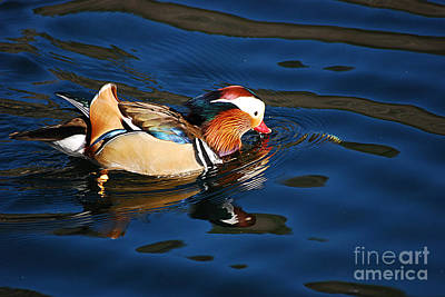 Photograph - Mandarin Duck 20131218_296 by Tina Hopkins