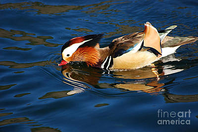 Photograph - Mandarin Duck 20131218_299 by Tina Hopkins