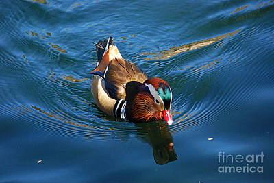 Photograph - Mandarin Duck 20131218_303 by Tina Hopkins