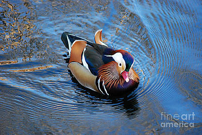 Photograph - Mandarin Duck 20131218_306 by Tina Hopkins