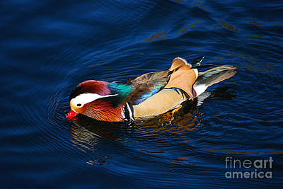 Photograph - Mandarin Duck 20131218_316 by Tina Hopkins
