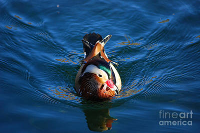 Photograph - Mandarin Duck 20131218_318 by Tina Hopkins