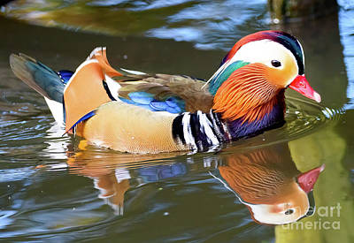 Photograph - Mandarin Duck by Colin Rayner