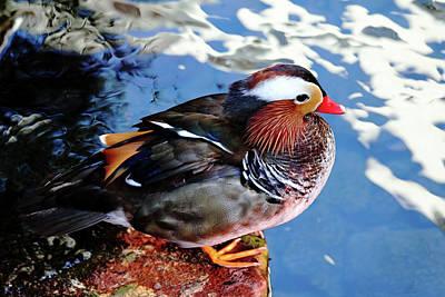 Photograph - Mandarin Duck by Debbie Oppermann