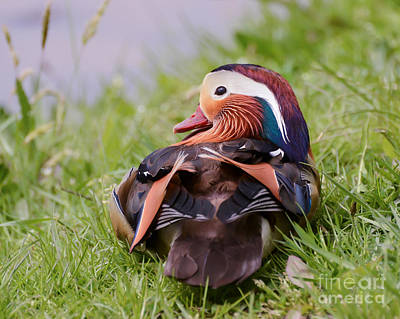 Photograph - Mandarin Duck  by Kerri Farley