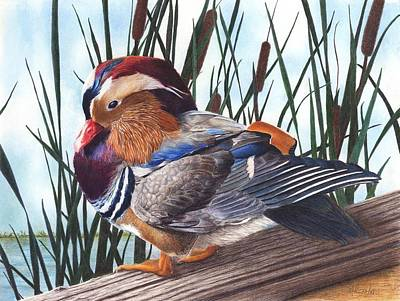 Mandarin Drawing - Mandarin Duck by Marlene Piccolin