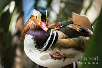 Photograph - Mandarin Duck Raising One Foot. by Cesar Padilla