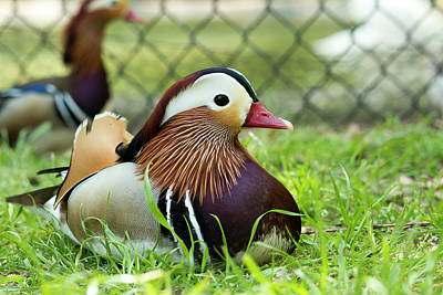 Photograph - Mandarin Duck by Travis Rogers
