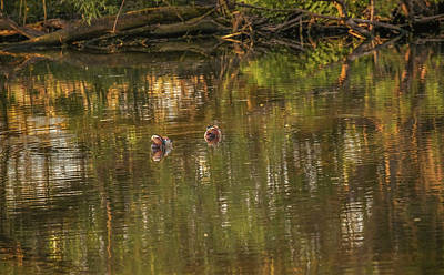 Photograph - Mandarin Ducks #g3 by Leif Sohlman