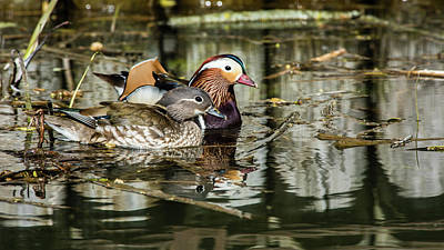 Photograph - Mandarin Ducks The Couple by Torbjorn Swenelius