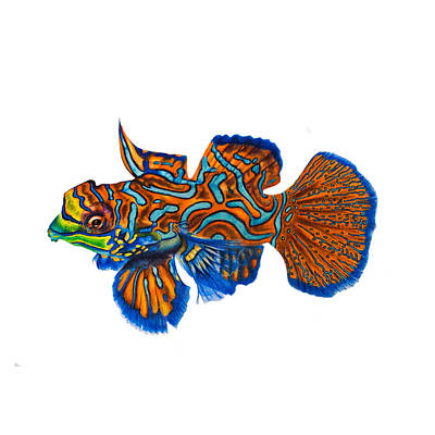 Mandarin Drawing - Mandarin Fish by Biophilic Art