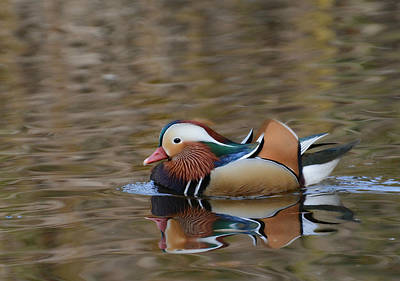 Photograph - Mandarin Reflection 4 by Fraida Gutovich