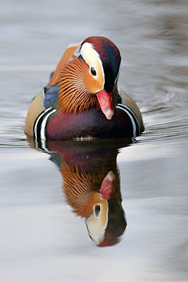 Photograph - Mandarin Reflection by Grant Glendinning