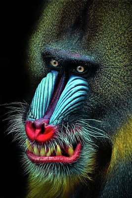 Mandrill Photograph - Mandrill by Animus Photography