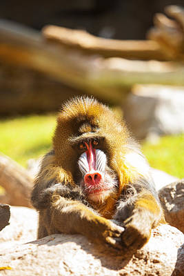 Mandrill Baboon Resting Looking Forward Art Print