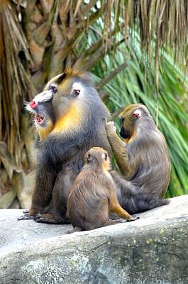 Photograph - Mandrill Family by Richard Bryce and Family