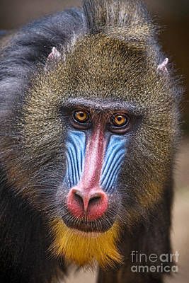Mandrill Female Art Print