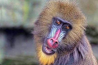 Photograph - Mandrill by Nadia Sanowar