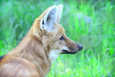 Photograph - Maned Wolf by Steve McKinzie