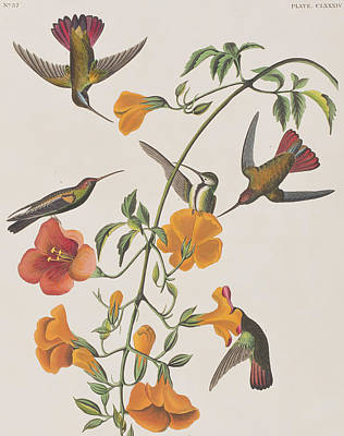 Hummingbird Drawing - Mango Humming Bird by John James Audubon