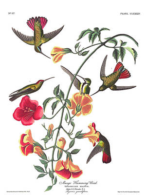Mango Wall Art - Painting - Mango Hummingbird Bird by John James Audubon