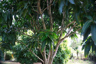 Photograph - Mango Tree by Daniel Jean-Baptiste