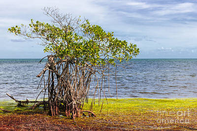 Photograph - Mangrove At Florida Keys by Elena Elisseeva