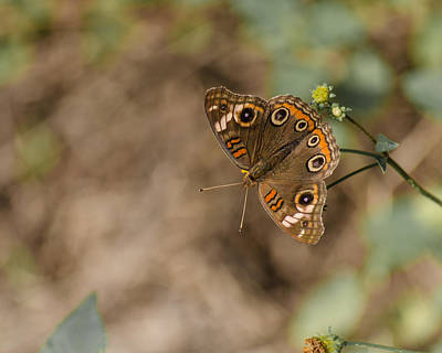 Photograph - Mangrove Buckeye Butterfly by Stephanie Maatta Smith