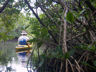 Photograph - Mangrove Kayaker by Steven Scott