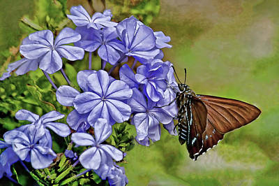 Photograph - Mangrove Skipper On Plumbago Flowers by HH Photography of Florida