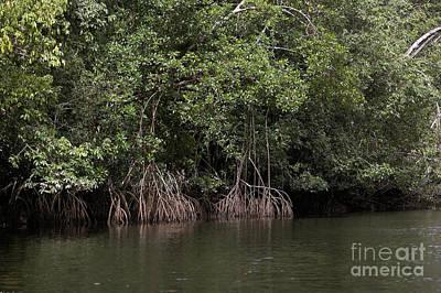 Mangrove Tree In Orinoco Delta Art Print by Gerard Lacz