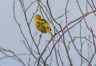 Photograph - Mangrove Yellow Warbler, Galapagos by Venetia Featherstone-Witty