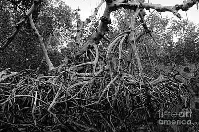 Photograph - Mangroves, Sanibel Island, Florida  -50468 by John Bald