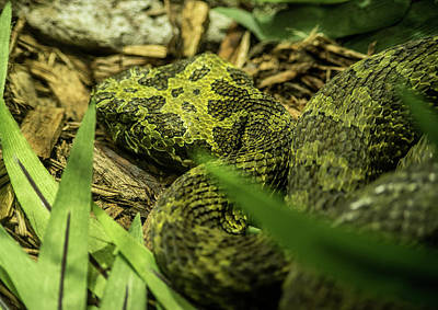 Photograph - Mangshan Mountain Viper Up Close by Douglas Barnett