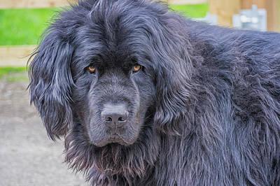 Newfoundland Dog Photograph - Man's Best Friend by Angela Aird
