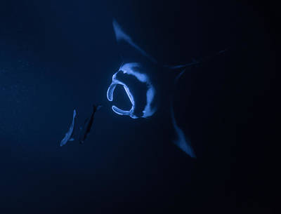Photograph - Manta Ray Asending by Art Atkins