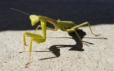 Photograph - Mantid by Caryl J Bohn