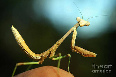 Mantid Art Print by DiDi Higginbotham