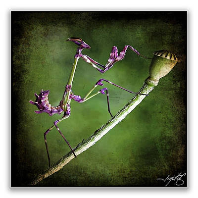 Mantis 1 Art Print by Ingrid Smith-Johnsen