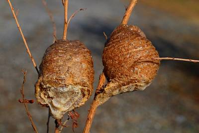 Photograph - Mantis Egg Cases by Kathryn Meyer
