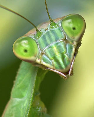 Mantis Hello Art Print