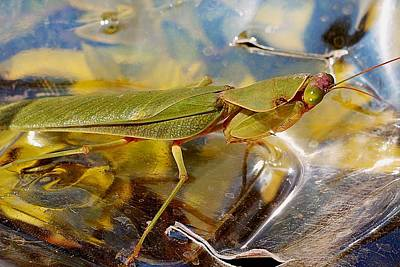 Photograph - Mantis Religiosa by Dora Hathazi Mendes
