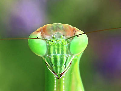 Photograph - Mantis Stare-down by Carolyn Derstine