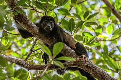 Photograph - Mantled Howler Monkey by Gary Lengyel